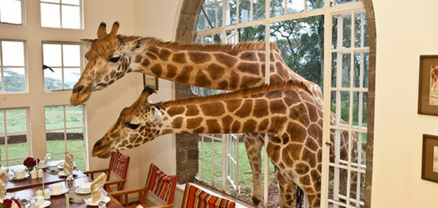 Have Breakfast With A Giraffe