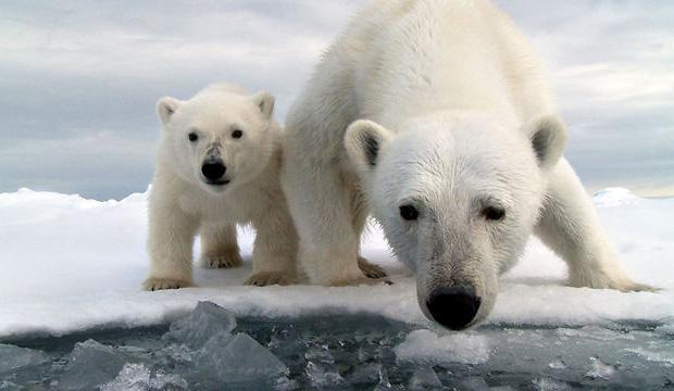 I Spy… a Polar Bear